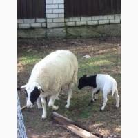Овцы породы Дорпер