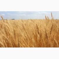 Семена озимой пшеницы: Таня, Гром, Гурт, Юка, Баграт, Алексеич, Дуплет, Калым, Безостая100