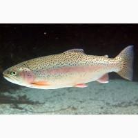 Продам живую рыбу Форель (1, 0-1, 5 кг) в Москве