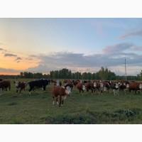 Нетели, телки, коровы Герефорд