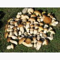 Продам белый гриб свежий новый урожай 2020 года