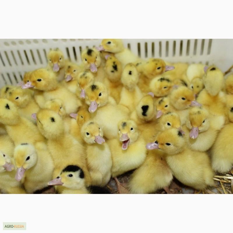 яйца фазанов фото