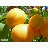 Продам абрикос крымский