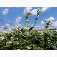 Семена гречихи Канадский трансгенный сорт GRANBY