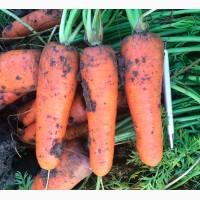 Морковь сорта БОЛИВАР F1