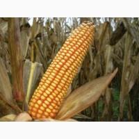 Кукуруза на семена Ярый трансгенный гибрид кукурузы CORBIN FS - 899