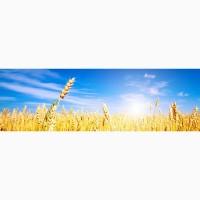Семена озимой пшеницы мягкой Юка, Юбилейная 100