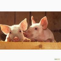 Ландрас порода свиней