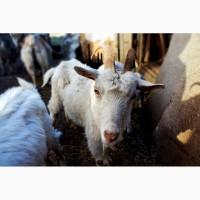 В продаже есть взрослые дойные козы и молодые козочки