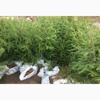 Саженцы сосны и ели рост 1 метр по 200 руб. с доставкой