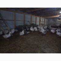Реализуем гусей и деревенских бройлеров