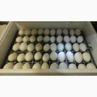 Гусиное инкубационное яйцо