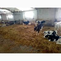 Телята мясной породы на откорм с доставкой