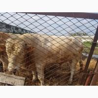 Корова/бык симментал на мясо