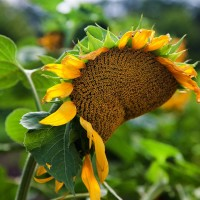 Семена подсолнечника ДОБРЫНЯ