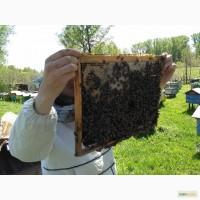 Пчелопакет. Карника