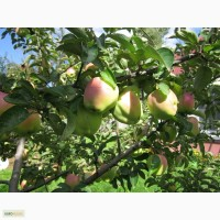 Продаём саженцы яблонь