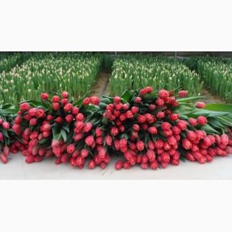 Тюльпаны Оптом с доставкой
