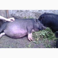 Вкуснейшее сало от экологически чистой свиньи