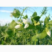 Семена гороха полевого Новосибирская 1 (ЭС)