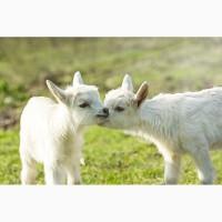 Козочки и козлята