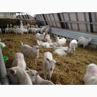 Козье молоко для производителей (Меркурий)