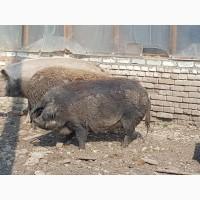 Боровы 2 шт и Свинья 1 шт. мангалица и кросс с ней на мясо