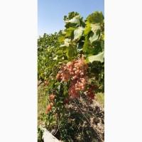 Продам Виноград розовый, Тайфи, ящ. 9 кг, Узбекистан
