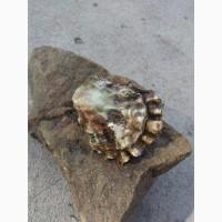 Продам моллюски опт/розница