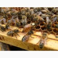 Пчелопакеты Бакфаст Карника