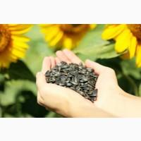 Семена гибрида подсолнечника Савинка от Syngenta