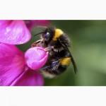 Пчелопакеты Карпатка 2018