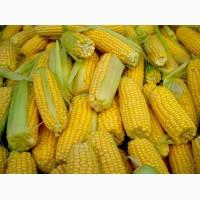 Продам срочно семена кукурузы канадский трансгенный гибрид кукурузы skeena ff 199 фао 250