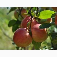 Продаю сезонные яблоки