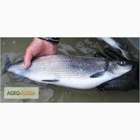 Продам рыбу с.м( сырок.щука.окунь.язь.щеку р)