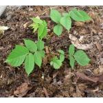 Маньчжурский орех: саженцы, семена, молодые плоды, настойка