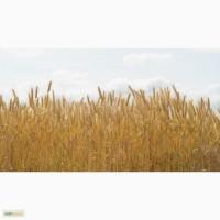 Семена озимой пшеницы Ермак, Станичная, Дон 105/107 и др