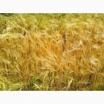 Продам пшеницу 4 класса