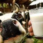 Иркутин для повышения надоев и жирности молока
