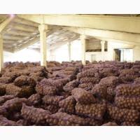 Картофель Гала, Ред Скарлет оптом от производителя 12, 5р./кг