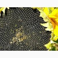 Савинка Syngenta семена гибридов подсолнечника