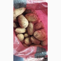 Картофель молодой. Египет
