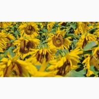 Продам семена Подсолнечник HC X 6008 (технология EXPRESS)