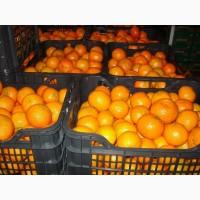 К оптовой продаже по цене от производителя готов мандарин сорта Миховайс