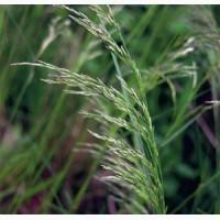 Семена овсяницы луговой