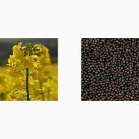 Семена Канадского рапса, сои, пшеницы, ячменя, кориандра, подсолнечника