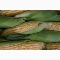 Гибриды семена кукурузы Сингента (Syngenta, Сингента)