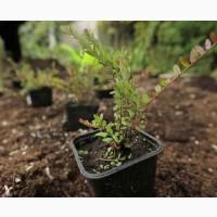 Саженцы клюквы садовой крупноплодной, цена 75 руб./шт
