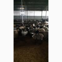 Продам чистопородных романовских овец
