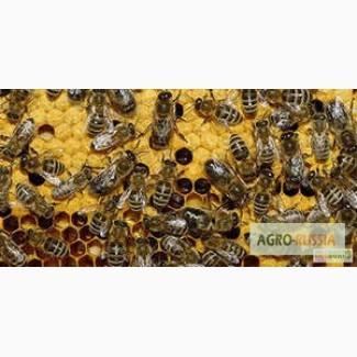 Пчелопакеты 2020 Тюмень. Бесплатная доставка по России